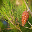 Pine tree branch with cone. Macro photo — Stock Photo