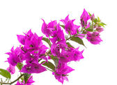 Macro photo of bright Bougainvillea flowers isolated on white — Stock Photo