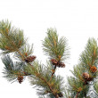 Pine tree branch with cones isolated on white — ストック写真