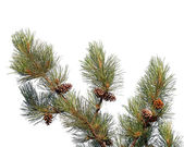 Pine tree branch with cones isolated on white — Stock Photo