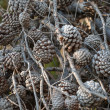Stock Photo: A lot of dry pine tree cones on branches