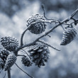 Stock Photo: Pine tree cones on the branch. Monochrome photo
