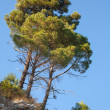 Group of bright pine trees grows on the rock with clear blue sky on a background — Stock Photo