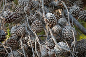 A lot of dry pine tree cones on branches — Stock Photo