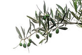 Green olives on branch isolated on white — Stock Photo