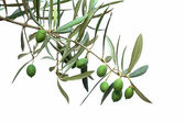 Green olive branch isolated on white — Stock Photo