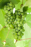 Green grapes hanging on a branch — Stock Photo
