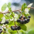 Chokeberry on the branch. Photo with selective focus — Stock Photo