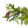 Macro photo of fir tree branch with cone isolated on white — 图库照片