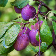 Ripe plums on the branch with dew droplets — Stock Photo #30492635