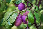 Ripe plums on the branch with dew droplets — Stock Photo