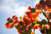 Bright red Helenium flowers in the sunshine above cloudy sky — Stock Photo