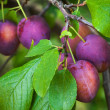 Ripe red plums on the branch with leaves — Stock Photo