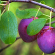 Two ripe red plums on the branch with leaves — Foto Stock