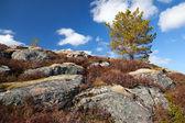 Norwegian spring nature fragment. Small pine tree grows on rocks — Stock Photo
