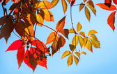 Colorful red and yellow autumn leaves in sunlight above blue sky — Стоковое фото