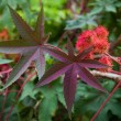 Castor oil plant with red prickly fruits and colorful leaves — Stock Photo