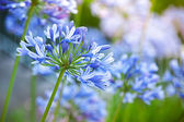 Macro photo of bright blue Agapanthus flowers in the garden — Stock Photo
