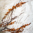 Dry decorative plant grows on the grunge concrete wall — Stock Photo