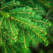 Stock Photo: Bright green fir tree branches macro photo with selective focus