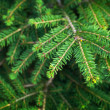 Bright green fir tree branches closeup photo — Stock Photo