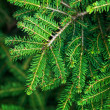 Bright green fir tree branch macro photo — Stock Photo