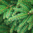 Bright green fir tree branches macro photo — Stock Photo