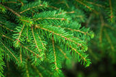 Bright green fir tree branches macro photo with selective focus — Stock Photo