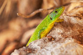 Green lizard sits on red dry stones — Foto Stock