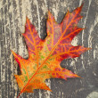 Colorful autumnal leaf on northern red oak lays on dark brown wooden surface — Stock Photo #33480521