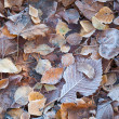 Autumnal leaves with frost lay on the ground in cold morning park — Photo