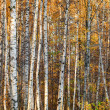 Autumnal birch forest photo background with white trunks and yellow leaves — Stock Photo