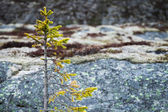 Small green fir tree growing on coastal stones in Norway — Stockfoto