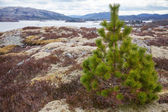 Small green pine tree growing on the stone coast in Norway — Stockfoto