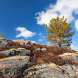 Small pine tree grows on rocky mountain in Norway — Stock Photo