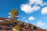 Small pine tree on rocky mountain in Norway — Stock Photo