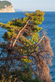Pine trees grow on the coast of Adriatic Sea, Montenegro — Stock Photo