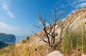 Dead dry tree on the coastal cliff in Montenegro — Stock Photo