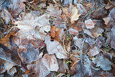 Frozen leaves lay on the ground in winter park — Foto de Stock