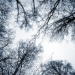 Stock Photo: Looking up on leafless birch trees in forest