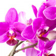 Macro photo of small pink orchid flowers isolated on white background — Stock Photo #44118159