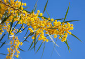Yellow flowers of Golden wattle. Acacia pycnantha macro photo — Stock Photo