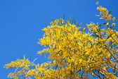 Bright yellow flowers of Golden wattle. Acacia pycnantha — Stock Photo