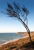 Droge naaldboom op de kust van gibraltar zeestraat in Marokko — Stockfoto