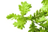Fresh green oak leaves isolated on white background — Stock Photo
