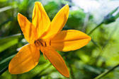 Hemerocallis lilioasphodelus. Bright yellow lily flower — Stock Photo