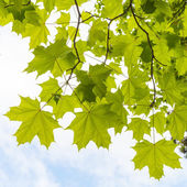 Green maple leaves above cloudy sky background — Stock Photo
