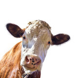 Portrait of a cute cow — Stock Photo