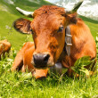 Cow grazing in French Alps — Stock Photo