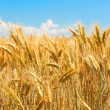 Wheat field — Stock Photo #29914993